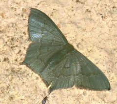 ecosystem/fauna/Pale-Lined Emerald Moth(Maxates veninotata) (biodiversity western ghats(before it is gone)) Tags: taxonomy:genus=maxates taxonomy:family=geometridae geometridae geometrinae hemitheini diversityindia indianmoths