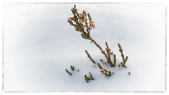 Fleur hivernale (sosivov) Tags: sweden snow winter white macro flower heather frame