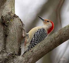 Red-bellied Woodpecker (jt893x) Tags: 150600mm bird d500 jt893x male melanerpescarolinus nikon nikond500 redbelliedwoodpecker sigma sigma150600mmf563dgoshsms woodpecker thesunshinegroup coth alittlebeauty coth5 ngc