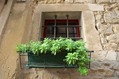 Escaping Sedum of Groznjan (Eadbhaird) Tags: croatia istria groznjan plant sedum hrv