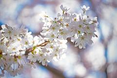 Hanami (L@nce) Tags: sakura cherry blossom spring flower hanami japanese tree jamesbay victoria canada