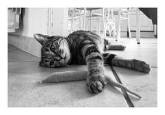 Saucisse... un nouvel ami.... (madras91) Tags: cat chat color