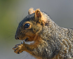 Mmmmm….Peanuts! (craig goettsch) Tags: squirrel fox mammal animal nature wildlife foxsquirrel nikon d500