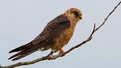 R91A0311 (chavko) Tags: jozefchavko canon flickr bird hawk chavko falco vespertinus redfooted falcon slovakia sky animal photo tree forest people