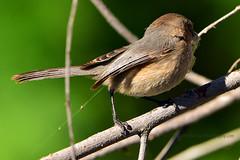 American_Bushtit_02 (DonBantumPhotography.com) Tags: wildlife nature animals birds donbantumcom donbantumphotographycom smallbrownbird goldringaroundtheinsideofhiseye americanbushtit