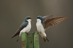 Tree swallows (chmptr) Tags: oiseau passereau swallow hirondelle animalier animal wildlife passerine bird