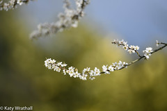 Mother of the woods (Katy Wrathall) Tags: 36596 protection spring druids england sloe magic eastyorkshire blackthorn garden straif strife 2019pad 2019 eastriding april