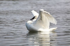 We are all winging it - that's what angels do! (Laura Rowan) Tags: swan trumpeterswan bird birding spring warm sunshine light