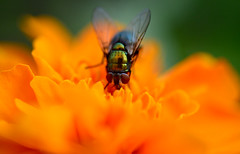Gold (setoboonhong) Tags: nature flower fly golden colours orange yellow parkside daughtersgarden adelaide marigold petals macro closeup depthoffield bokeh blur insect bug