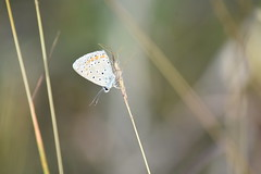 Lycaenidae (esta_ahi) Tags: larboçar mariposa papallona butterfly lycaenidae lepidoptera insectos fauna penedès barcelona spain españa испания
