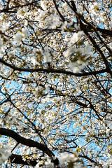 Immersive (Nicola Pezzoli) Tags: val gandino seriana bergamo italia italy nature spring leffe ceride san rocco blossom flowers plant