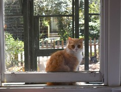 """..because I'm devilishly handsome"" (rootcrop54) Tags: jimmy orange ginger tabby striped male longhair longhaired window ""cat enclosure"" open neko macska kedi 猫 kočka kissa γάτα köttur kucing gatto 고양이 kaķis katė katt katze katzen kot кошка mačka gatos maček kitteh chat ネコ"