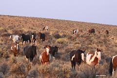 Wild horses! (calljohn3) Tags: steens wild equine horse horses nature oregon