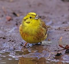 Yellowhammer (Gary Chalker, Thanks for over 4,000,000. views) Tags: finch bird yellowhammer pentax pentaxk3ii k3ii pentaxfa600mmf4edif fa600mmf4edif fa600mm 600mm