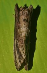 Headless striated moth  Antithemerastis acrobela Notodontinae Notodontidae Noctuoidea Airlie Beach rainforest P1460957 (Steve & Alison1) Tags: headless striated moth antithemerastis acrobela notodontinae notodontidae noctuoidea airlie beach rainforest