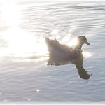 Duck Reflected with Sparkling Waters thumbnail