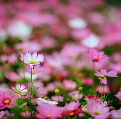 Kinoptik 150mm f2.5 (Stanley Tung's Photography) Tags: rolleiflex sl66 dallmeyer kinoptik 150mm kodak ektar kinoptik150mm dallmeyer100mm rolleiflexsl66 movielens cinelens hongkong 2019flowershow kodakektar100 spring flower bigflower awesome 6x6 120format