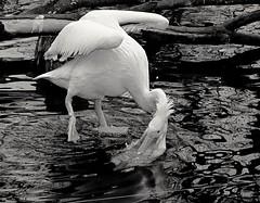 Wilhelma STUTTGART Germany (eagle1effi) Tags: sx60 wilhelma pelikan
