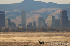 January 7, 2019 - Mule deer buck in front of the Mile High City. (Bill Hutchinson)