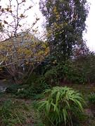 P1180476 (jrcollman) Tags: camellia plants splant camelliaxvernalisyultide iplant irisconfusa eplant hplant 21beechwoodgarden schizostyliscoccinea archived hamamelismollis cplant eucryphiaxnymansensisnymansay