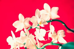 Orchidee (basti k) Tags: orchid flower red sony a6000 selp18105g blume orchidee
