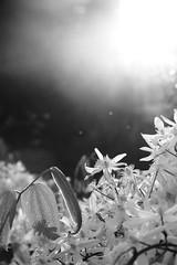 Sybelmynës II (Tonton Gilles) Tags: fleurs sybemynë tolkien hommage proxiphoto proxiphotographie photo rapprochée lumière du soir heure dorée feuilles ombres éclat rayon de soleil bokeh noir et blanc