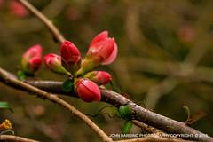 The Coming Of The Quince (T i s d a l e) Tags: tisdale thecomingofthequince japanesequince bud blossom flower farm winter 2019 easternnc