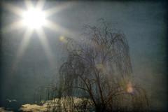 full-dazzling (1crzqbn) Tags: inmygarden sunbeams flares sliderssunday nature tree clouds