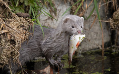 Mink with a fish (Tealham Moor) (Steve Balcombe) Tags: mammal mustelid american mink neovison vison fish roach rudd tealham moor somerset levels uk