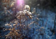 Frosty forest (1): Flare & frozen flowers (bohelsted) Tags: forest brøndby winter bright em5markii varioelmarit 1260 leicadg flare frost