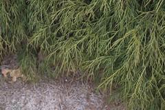 Chamaecyparis pisifera 'Sungold', 2019 photo (F. D. Richards) Tags: harpercollectionofraredwarfconifers hiddenlakegardens tiptonmi hri bedi michigan usa