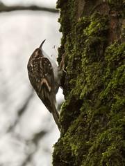 Tree Creeper (LouisaHocking) Tags: treecreeper cyfarthfapark southwales wild wildlife nature british bird gardenbird cyfarthfa park merthyrtydfil merthyr