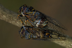 Cicadas (zimbart) Tags: gorongosanationalpark mozambique africa fauna arthropoda insects specinsect hemiptera homoptera auchenorrhyncha cicadidae