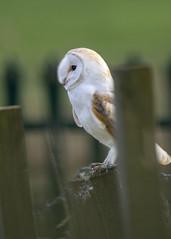 Barn owl (alderson.yvonne) Tags: barn owl evening county durham yvonnealderson yvonne nikon d7200