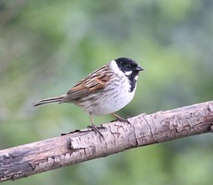 Reed Bunting (WiltsWildAboutBirds) Tags: naturereserve photography bird bunting emberizidae passerine nature wildlife wiltshirebirds wiltswildaboutbirds male reedbunting wiltshirebirds13thapril2019