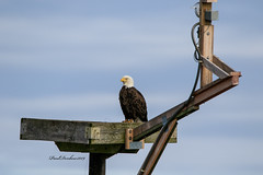Webcam Star (psdenbow) Tags: baldeagle blackwaternwr maryland canon tamron tamron150600