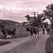 Grand Pop [A.J. Stonebridge] driving the cows, Garrison, N.Y., 1903.