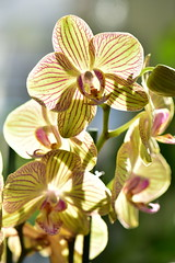 Orchid with blood Vessels (Jojorei) Tags: nikon micro macro orchid orchidee adern bloodvessels blut durchbluten