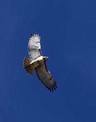 Redtailed hawk, light morphawk (CGDana) Tags: washinton dc district capitol wildlife canon 7d mkii raptor hawk flight mall urban bird