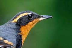 Varied Thrush (M) (ChasingNature) Tags: variedthrush male portrait closeencounter songbird