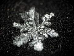 29jan19H2 (peterobrien186) Tags: snow snowflake snowcrystal dendrite rod winter macro nature