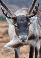 Force 8!!! Hold onto your hats!!!!! (captures.in.time) Tags: rudolph reindeer cairngorm heard christmas card merry scotland aviemore tundra nationalpark cairngormraindeer highlands grampian santa cairngorms wildlife nature scottishwildlife wildlifephotography naturephotography