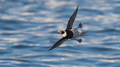 Long-tailed duck (JS_71) Tags: nature wildlife nikon photography outdoor 500mm bird new winter see natur pose moment outside animal flickr colour poland sunshine beak feather nikkor d500 wildbirds planet global national wing eye water sea