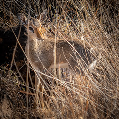 Hiding in the Grasses (helenehoffman) Tags: africa kenya conservationstatusleastconcern madoquakirkii bovidae antelope kirksdikdik lewawildlifeconservancy dikdik mammal animal