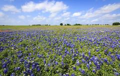 2017-016-246 Spring Wildflowers (Chrisinkingwood) Tags: texas wildflowers brenham unitedstates us