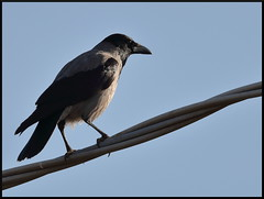 Cornacchia grigia (corvus cornix) (Paolo Bertini) Tags: cornacchia grigia corvus crow boscomantico verona birdwatching birding bird hooded cornix