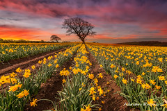 Field of Daffodils Sunset (Adrian Evans Photography) Tags: spring landscape flowers narcissus outdoor clouds daffodils trees yellowflowers uk adrianevans northwales sunset sky sunrise british yellow wales rows nikon d800 14mm treesdiestandingup
