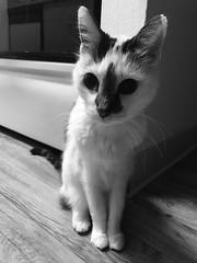 64/365/8 (f l a m i n g o) Tags: project365 365days february 26th 2019 tuesday cat angel pet