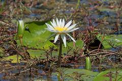 Прогулка на мокоро (Oleg Nomad) Tags: африка ботсвана цветы река природа botswana africa mokoro river flower nature travel