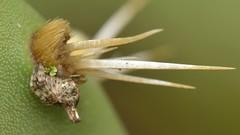 Trashline Orb Weaver (Cyclosa, Araneidae) spider under cactus spines (Treebeard) Tags: trashlineorbweaver cyclosa araneidae lichen cactuspatch garden pricklypear opuntia cactaceae cactus sanmarcospass santabarbaracounty california
